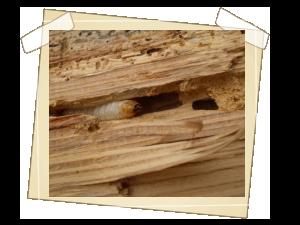 Larva tesaříka krovového