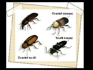 Druhy dřevokazného hmyzu
