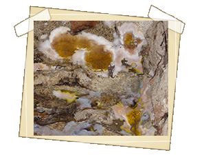 Dřevomorka domácí - počátek tvorby plodnic
