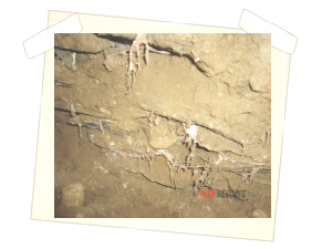 Prorůstání rhizomorf ve zdivu
